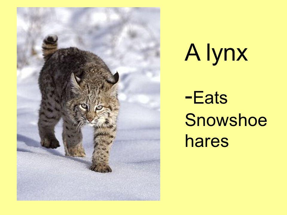 A lynx - Eats Snowshoe hares