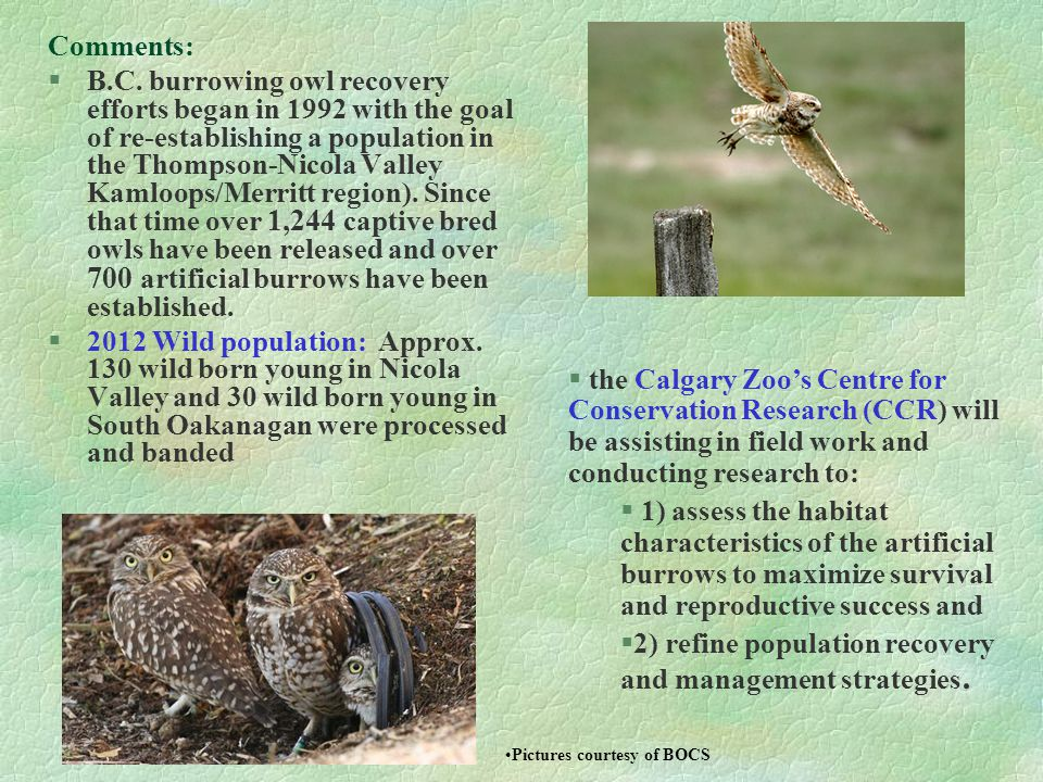 Comments: §B.C. burrowing owl recovery efforts began in 1992 with the goal of re-establishing a population in the Thompson-Nicola Valley Kamloops/Merr