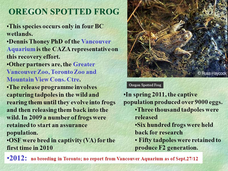 OREGON SPOTTED FROG This species occurs only in four BC wetlands.