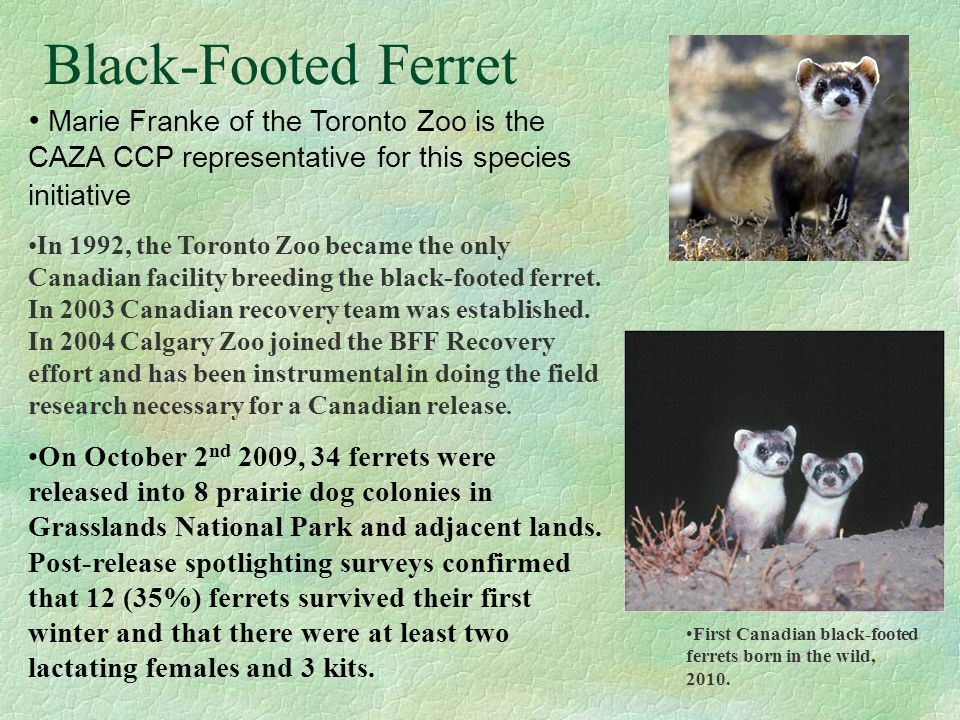 Black-Footed Ferret Marie Franke of the Toronto Zoo is the CAZA CCP representative for this species initiative In 1992, the Toronto Zoo became the only Canadian facility breeding the black-footed ferret.