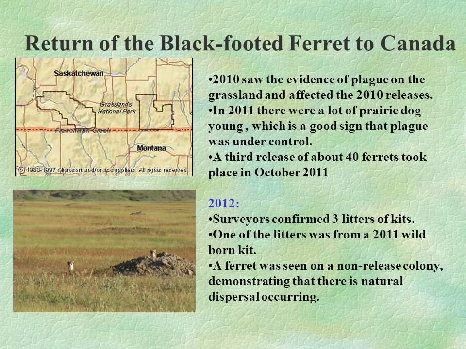 Return of the Black-footed Ferret to Canada 2010 saw the evidence of plague on the grassland and affected the 2010 releases.