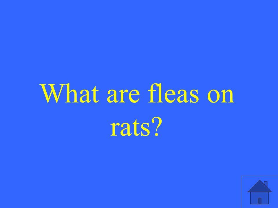 What are fleas on rats?