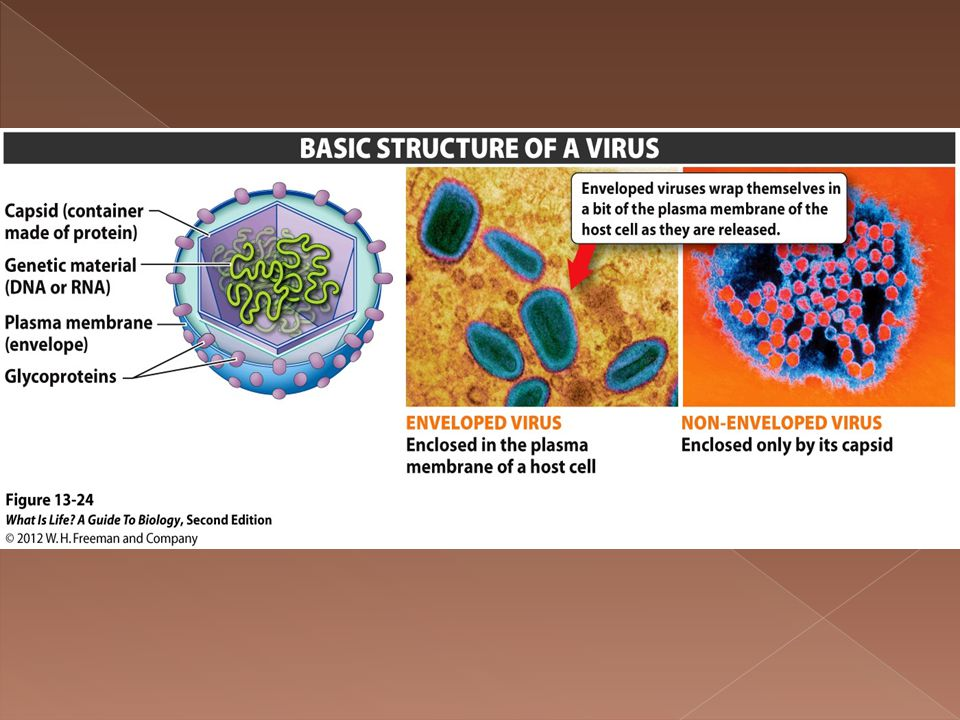  Infects host cell by attaching to outer surface › Injects genetic material  Virus DNA/RNA takes over host cell's metabolism to make its own components  New virus parts made, DNA/RNA replicated  Parts put together and then the host cell is lysed open