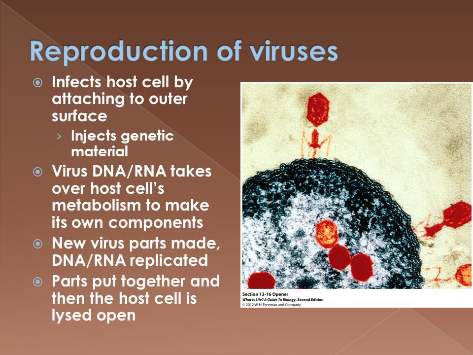  Infects host cell by attaching to outer surface › Injects genetic material  Virus DNA/RNA takes over host cell's metabolism to make its own components  New virus parts made, DNA/RNA replicated  Parts put together and then the host cell is lysed open
