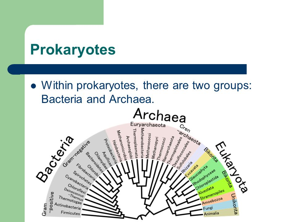 Prokaryotes Within prokaryotes, there are two groups: Bacteria and Archaea.