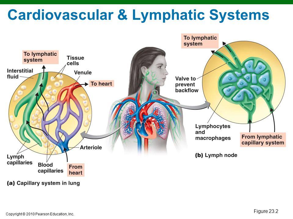 Copyright © 2010 Pearson Education, Inc. Figure 23.2 Cardiovascular & Lymphatic Systems