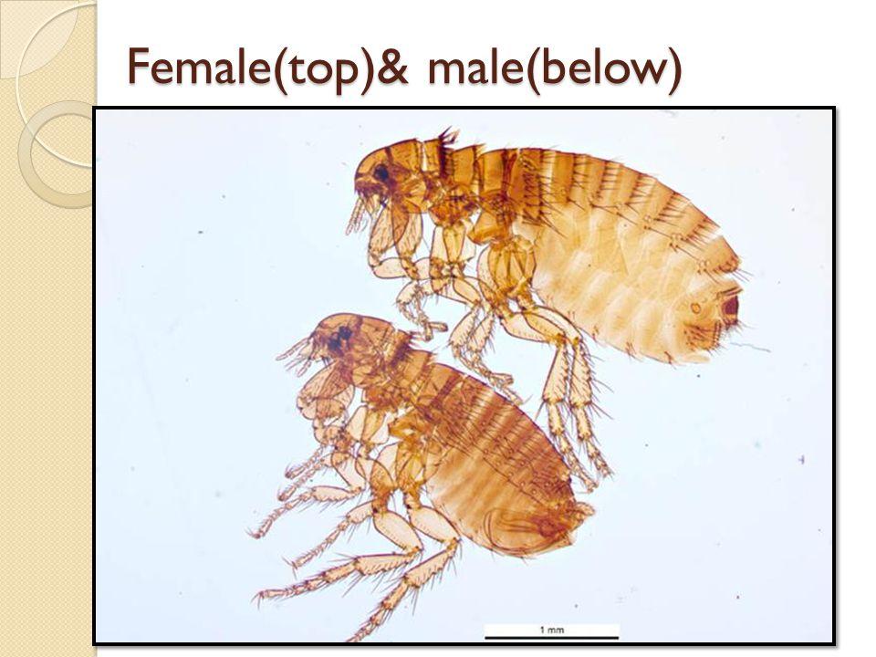 Female(top)& male(below) Female(top)& male(below)