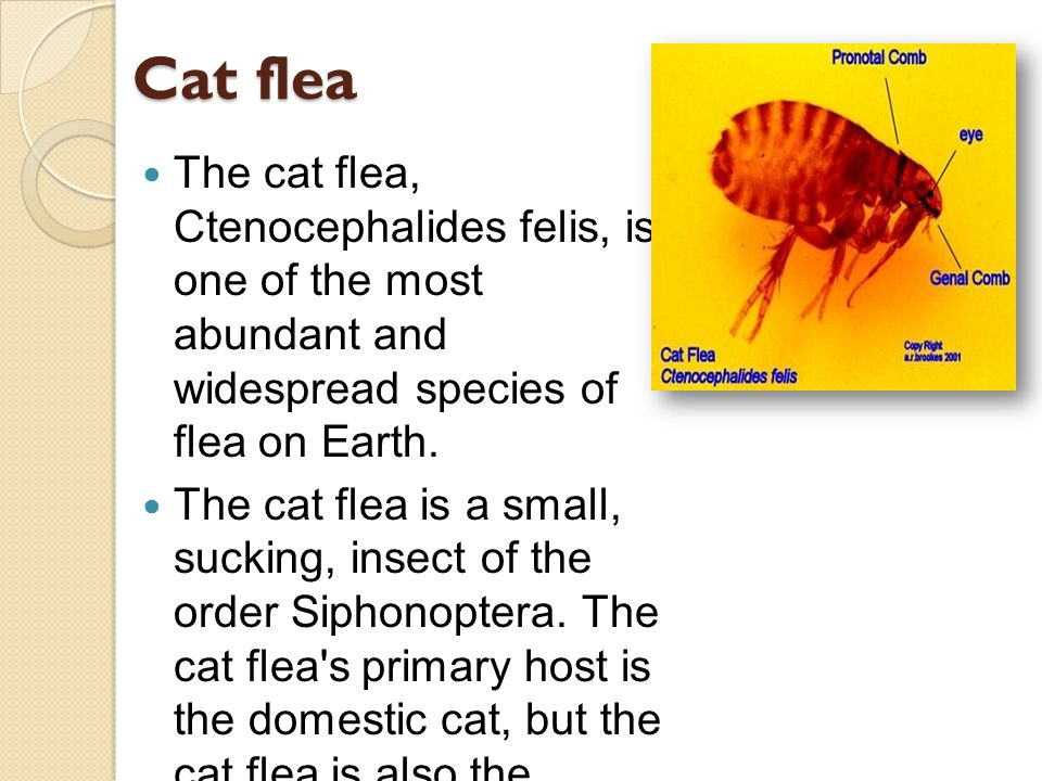 Cat flea The cat flea, Ctenocephalides felis, is one of the most abundant and widespread species of flea on Earth.