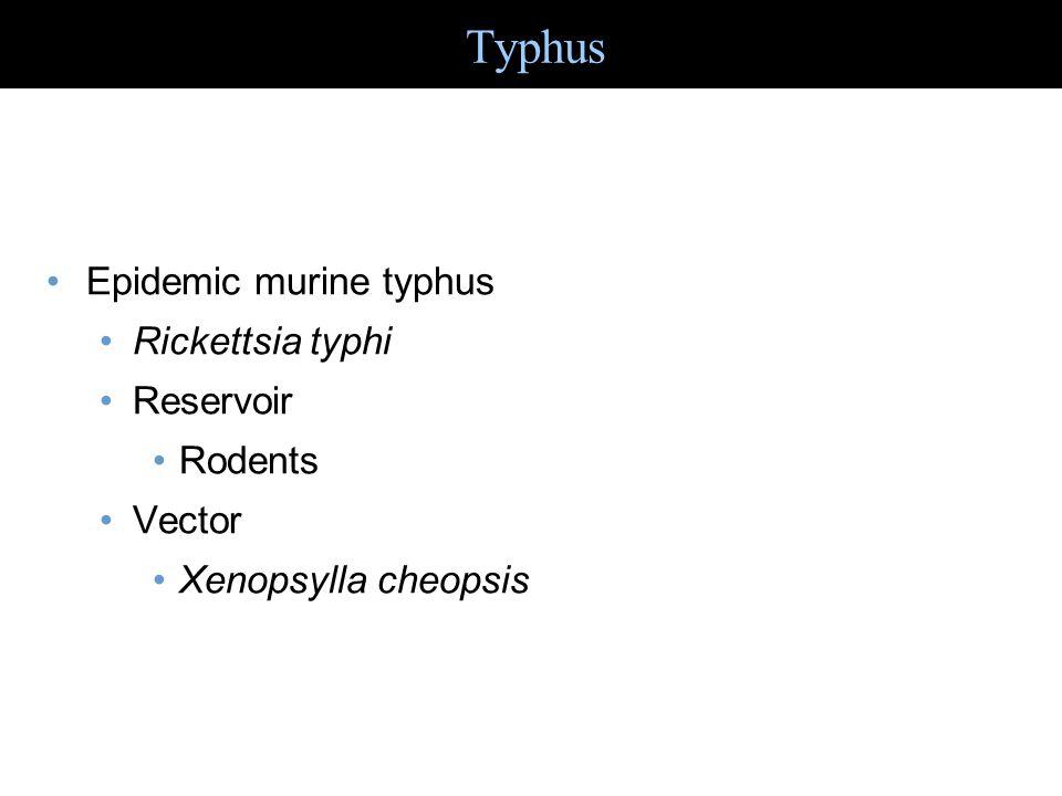 Epidemic murine typhus Rickettsia typhi Reservoir Rodents Vector Xenopsylla cheopsis Typhus