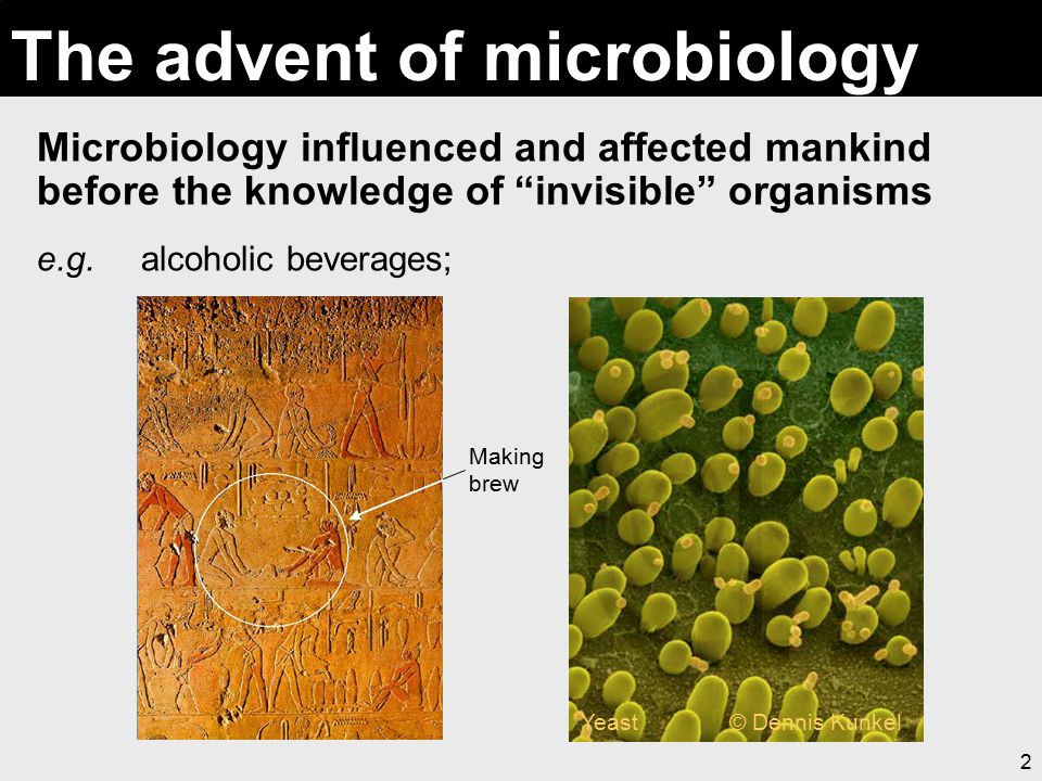"""2 The advent of microbiology Microbiology influenced and affected mankind before the knowledge of """"invisible"""" organisms e.g. alcoholic beverages; Maki"""