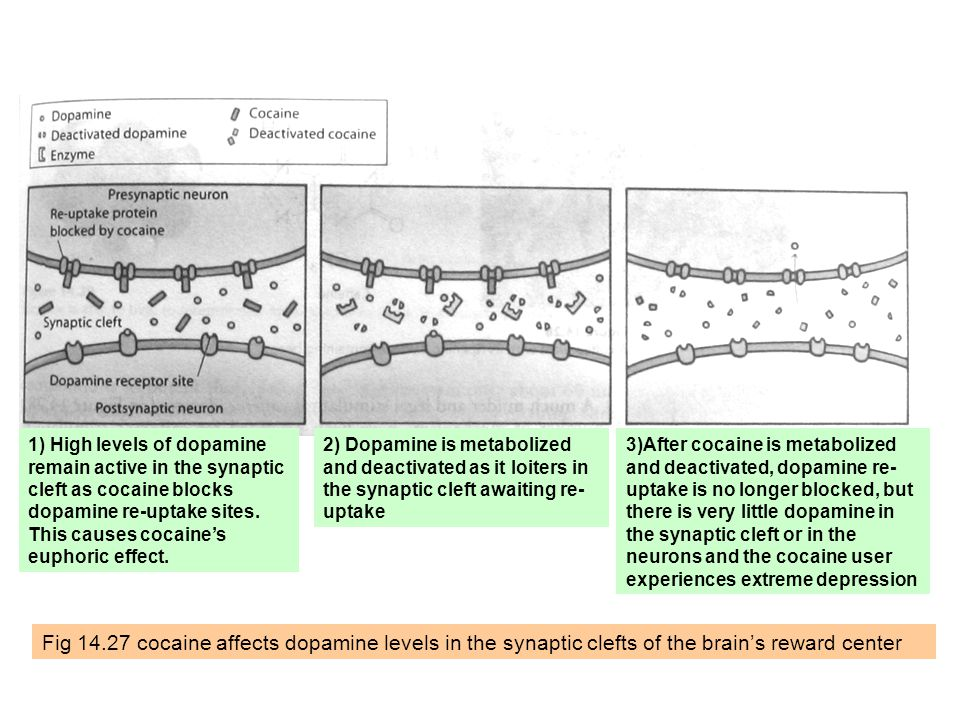 Fig 14.27 cocaine affects dopamine levels in the synaptic clefts of the brain's reward center 1) High levels of dopamine remain active in the synaptic cleft as cocaine blocks dopamine re-uptake sites.