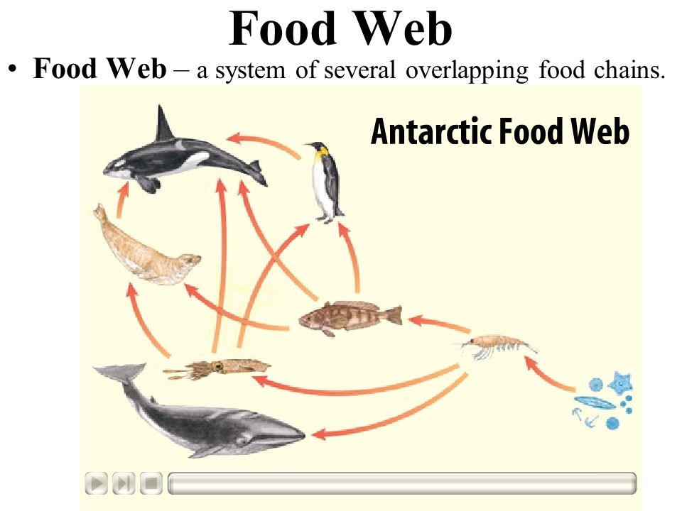 Food Web Food Web – a system of several overlapping food chains.
