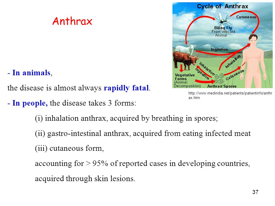 37 Anthrax - In animals, the disease is almost always rapidly fatal.