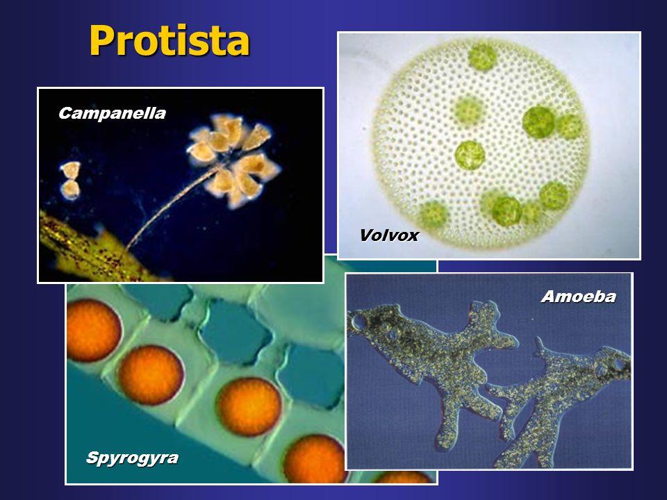 Protista Spyrogyra Campanella Volvox Amoeba
