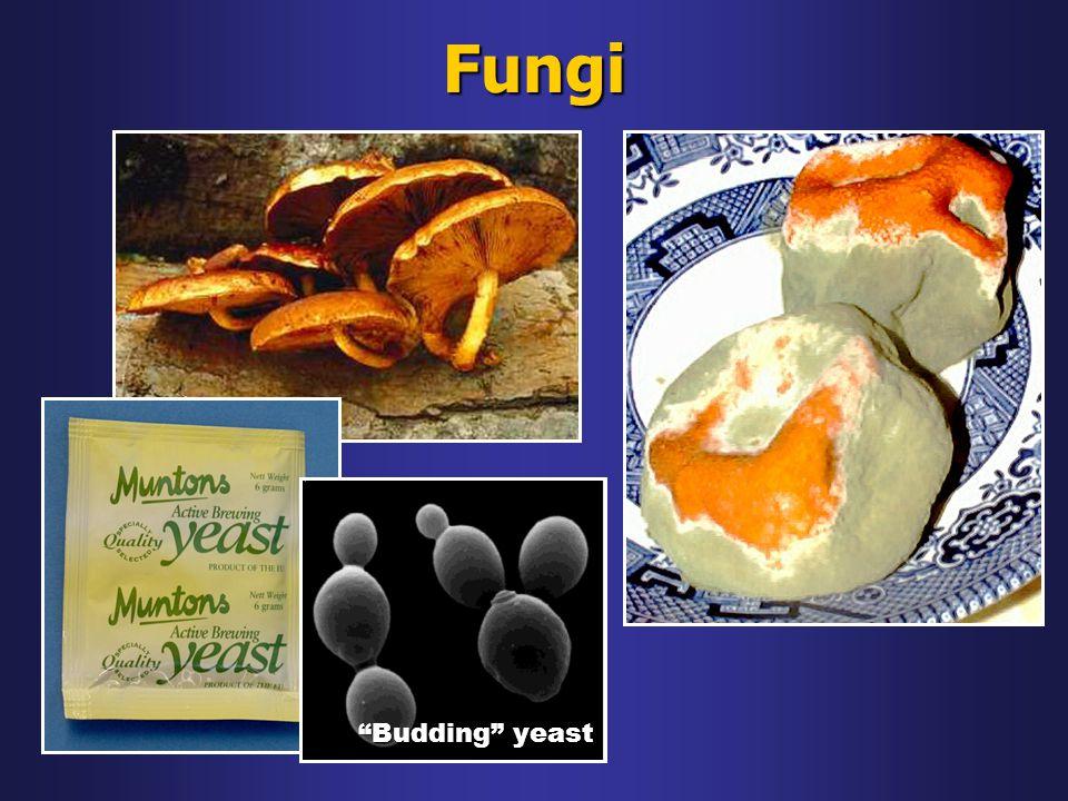 "Fungi ""Budding"" yeast"