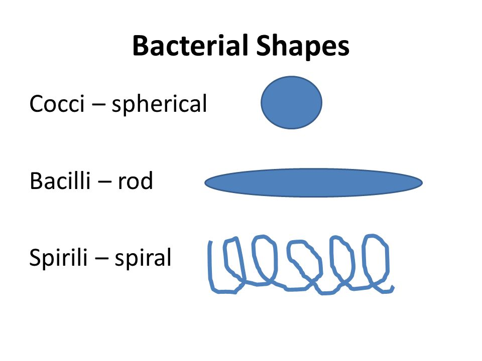 Bacterial Shapes Cocci – spherical Bacilli – rod Spirili – spiral