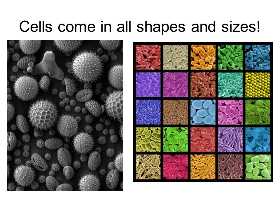 Cells come in all shapes and sizes!