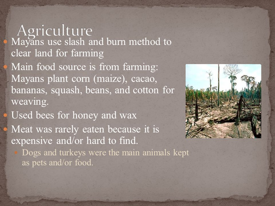 Mayans use slash and burn method to clear land for farming Main food source is from farming: Mayans plant corn (maize), cacao, bananas, squash, beans,