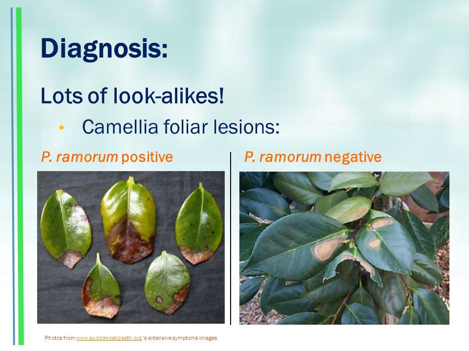 Diagnosis: Lots of look-alikes. Camellia foliar lesions: P.
