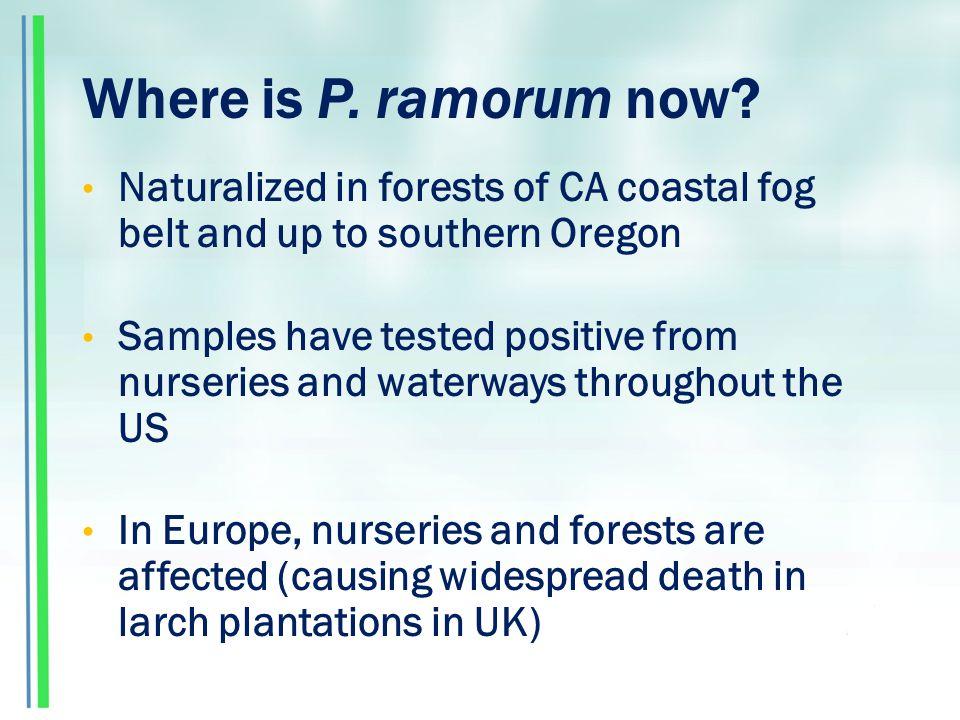 Where is P. ramorum now.
