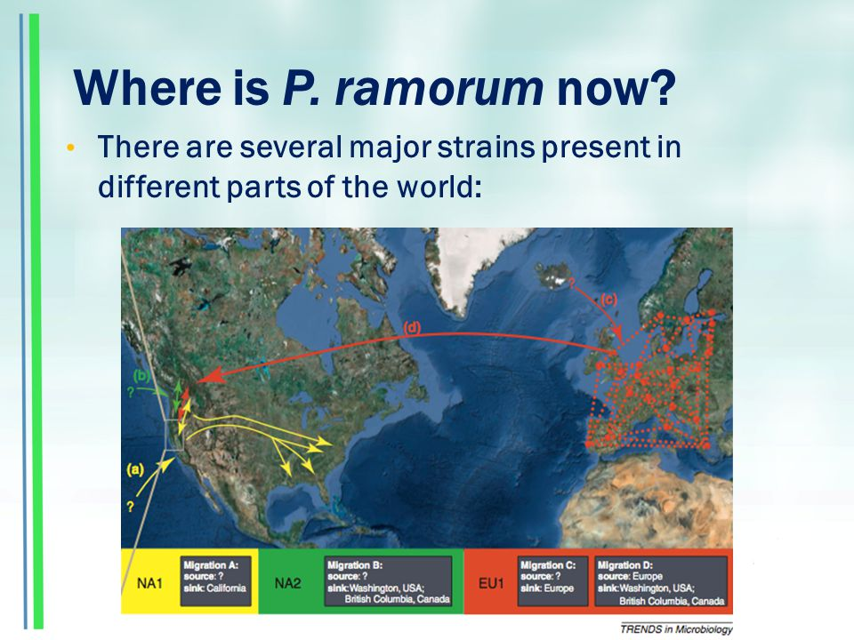 Where is P. ramorum now There are several major strains present in different parts of the world: