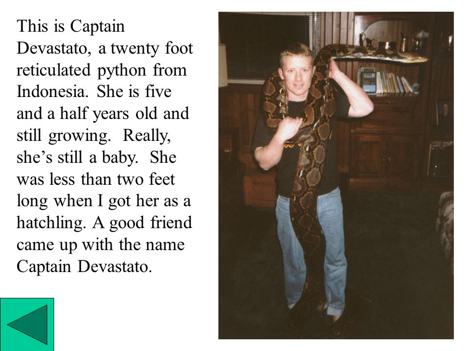 This is Captain Devastato, a twenty foot reticulated python from Indonesia.