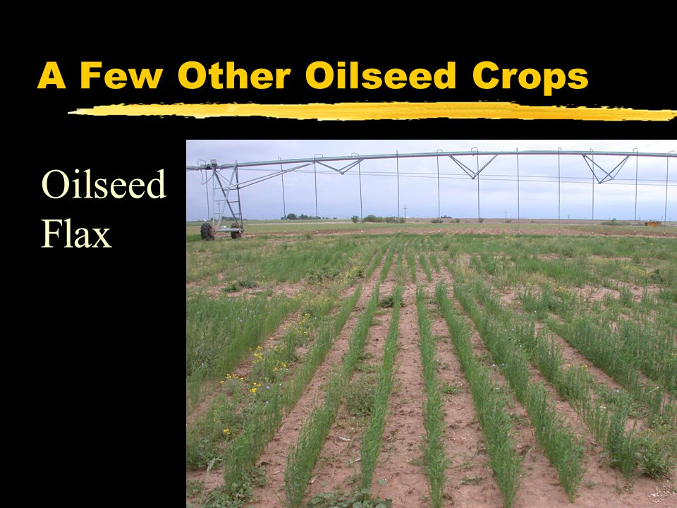 A Few Other Oilseed Crops Oilseed Flax