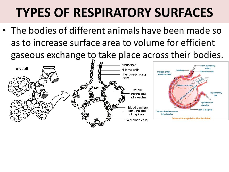 TYPES OF RESPIRATORY SURFACES The bodies of different animals have been made so as to increase surface area to volume for efficient gaseous exchange t