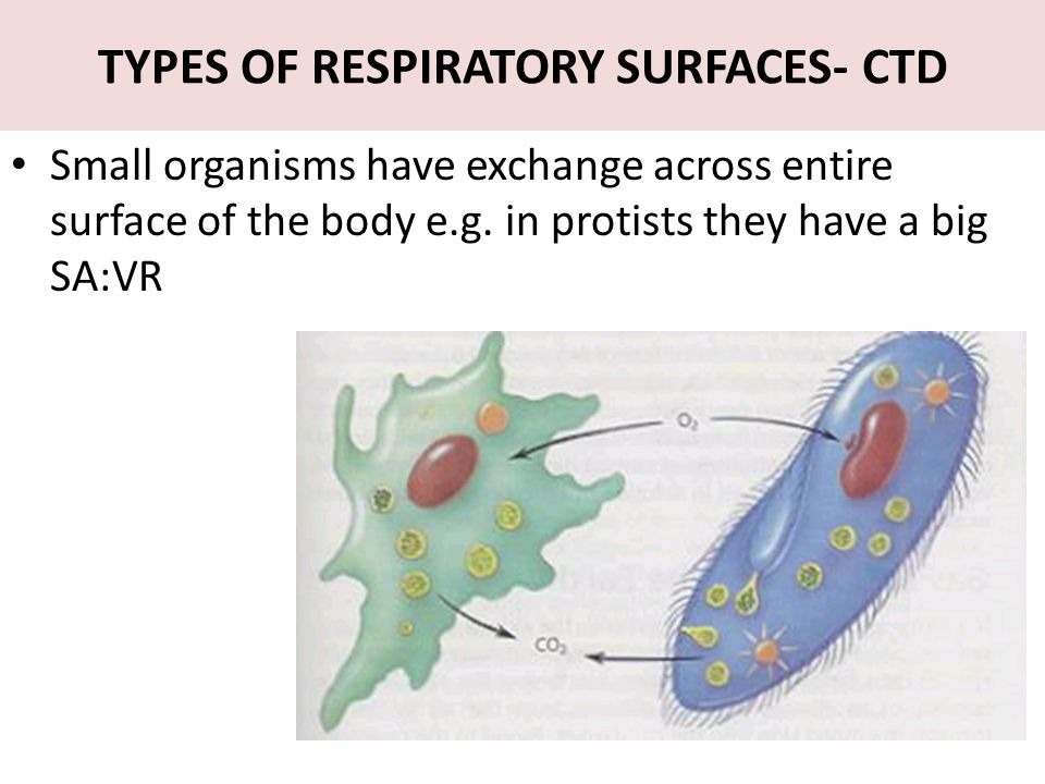 TYPES OF RESPIRATORY SURFACES- CTD Small organisms have exchange across entire surface of the body e.g. in protists they have a big SA:VR