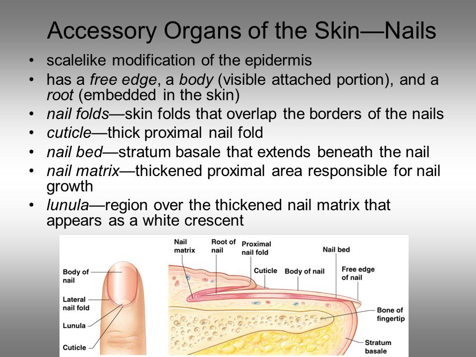 Accessory Organs of the Skin—Nails scalelike modification of the epidermis has a free edge, a body (visible attached portion), and a root (embedded in the skin) nail folds—skin folds that overlap the borders of the nails cuticle—thick proximal nail fold nail bed—stratum basale that extends beneath the nail nail matrix—thickened proximal area responsible for nail growth lunula—region over the thickened nail matrix that appears as a white crescent
