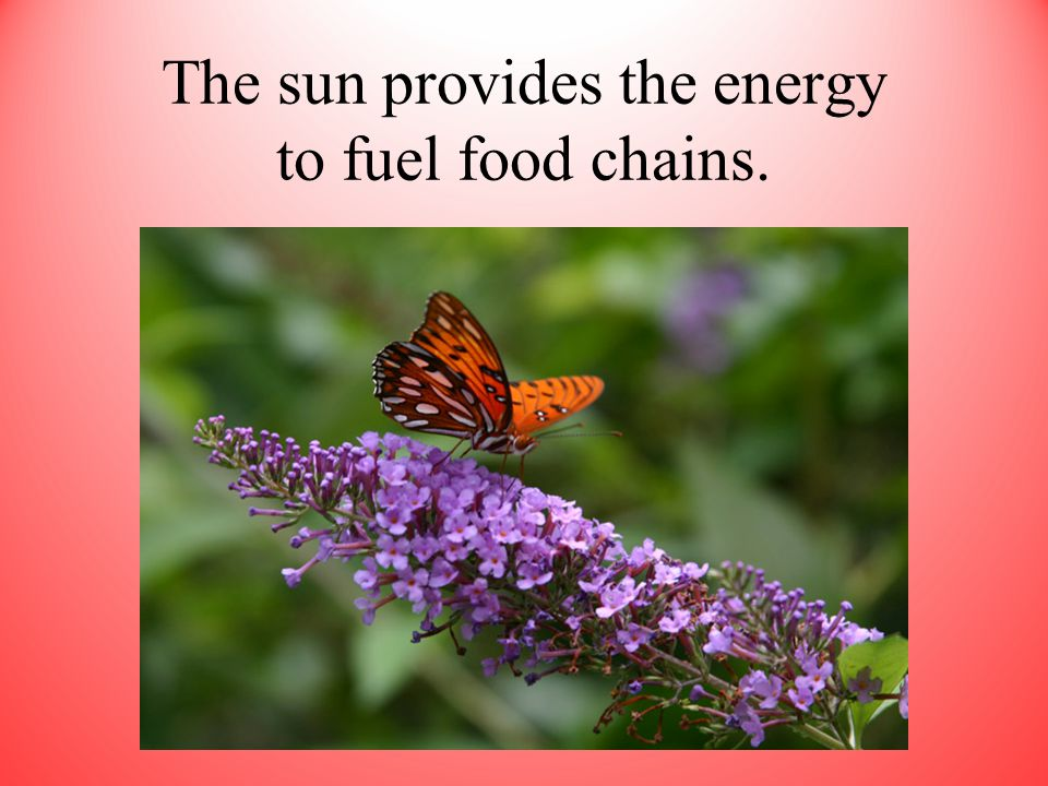 The sun provides the energy to fuel food chains.