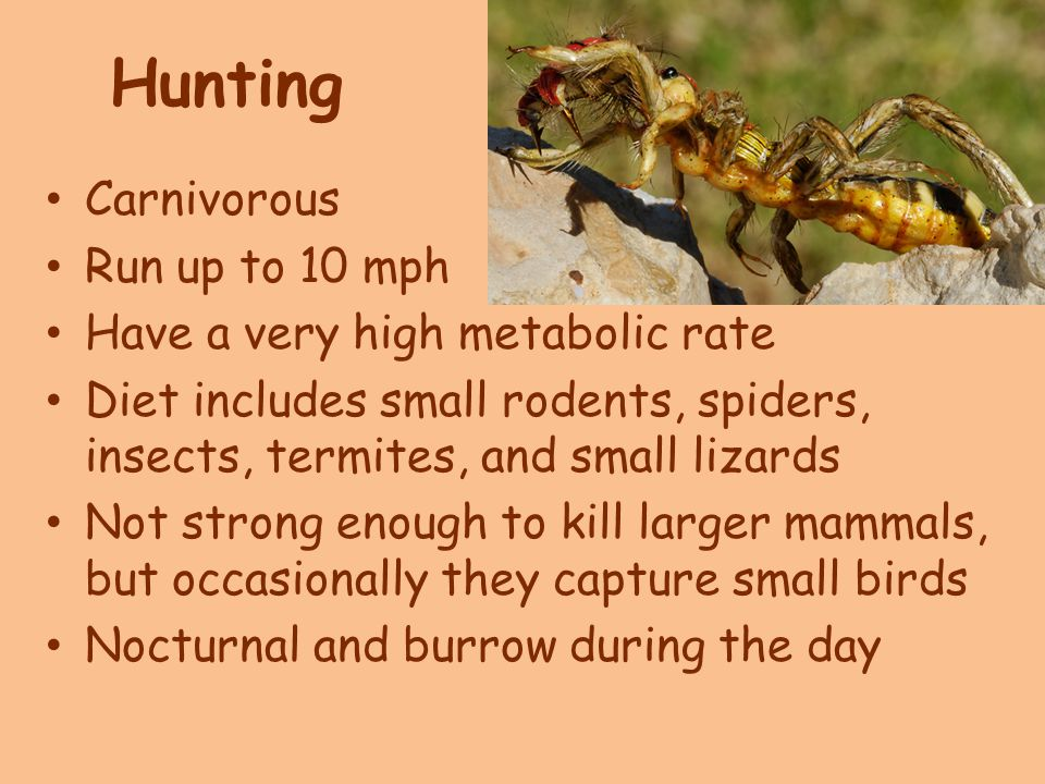 Hunting Carnivorous Run up to 10 mph Have a very high metabolic rate Diet includes small rodents, spiders, insects, termites, and small lizards Not strong enough to kill larger mammals, but occasionally they capture small birds Nocturnal and burrow during the day