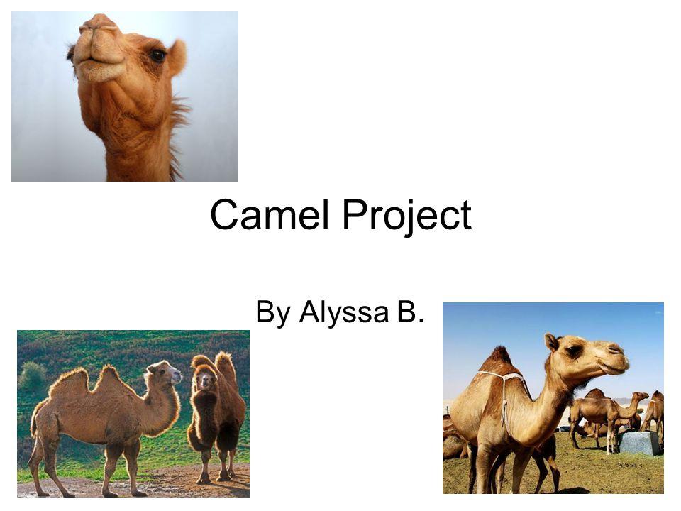Camel Project By Alyssa B.