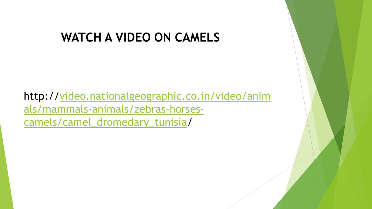 WATCH A VIDEO ON CAMELS http://video.nationalgeographic.co.in/video/anim als/mammals-animals/zebras-horses- camels/camel_dromedary_tunisia/video.nationalgeographic.co.in/video/anim als/mammals-animals/zebras-horses- camels/camel_dromedary_tunisia
