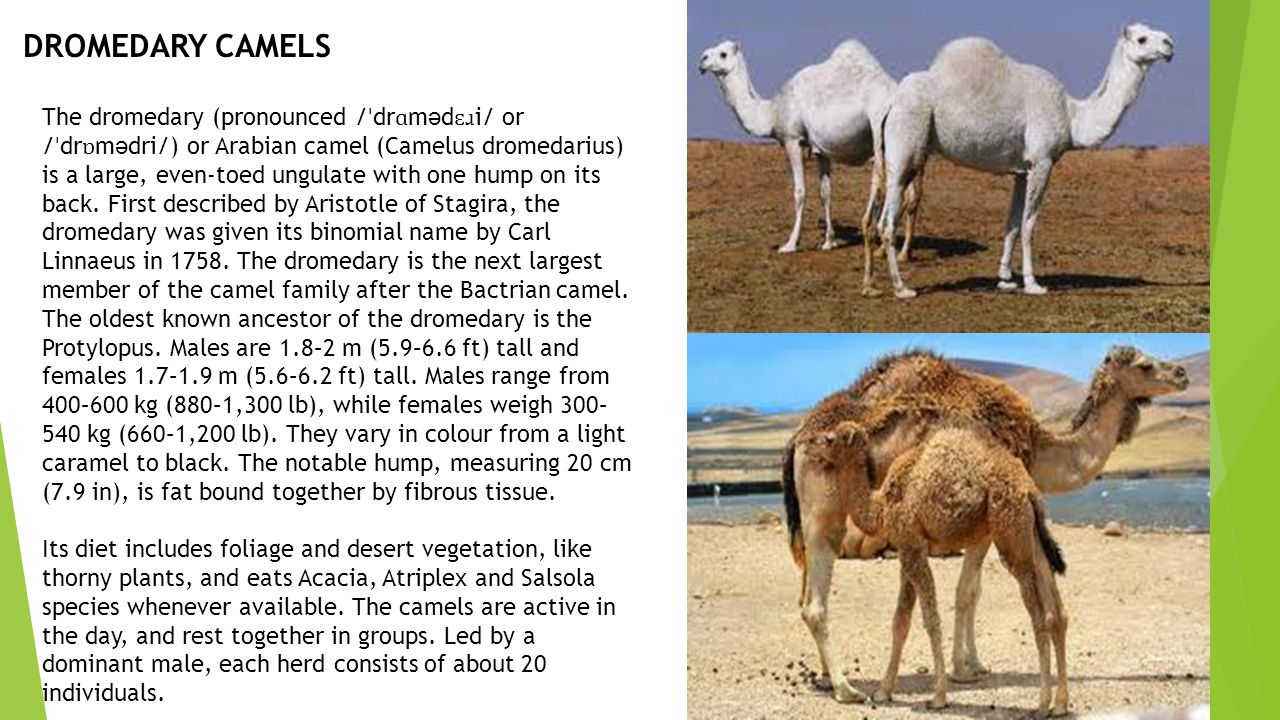 DROMEDARY CAMELS The dromedary (pronounced / ˈ dr ɑ m ə d ɛɹ i/ or / ˈ dr ɒ m ə dri/) or Arabian camel (Camelus dromedarius) is a large, even-toed ungulate with one hump on its back.