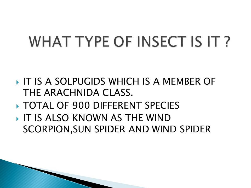  IT IS A SOLPUGIDS WHICH IS A MEMBER OF THE ARACHNIDA CLASS.