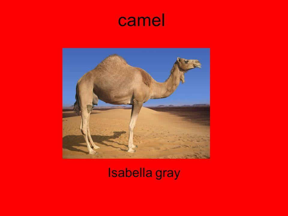 camel Isabella gray