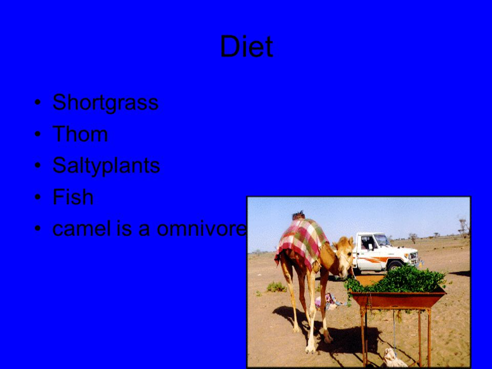 Diet Shortgrass Thom Saltyplants Fish camel is a omnivore