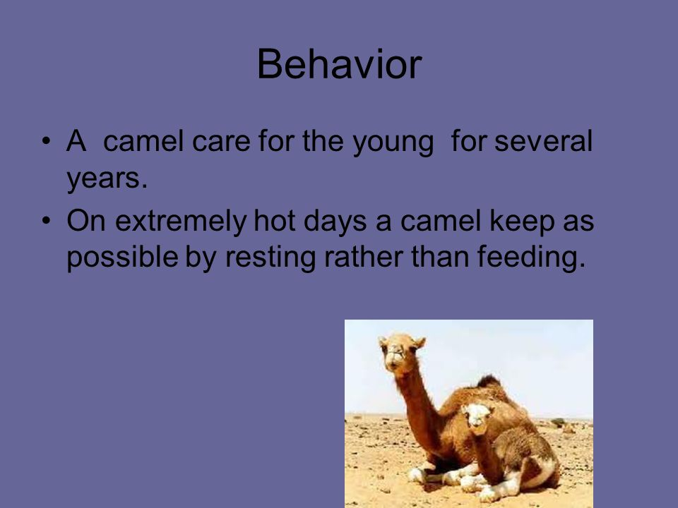 Behavior A camel care for the young for several years.
