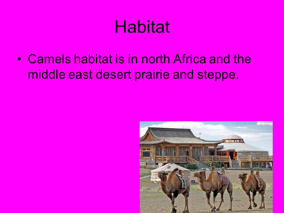Habitat Camels habitat is in north Africa and the middle east desert prairie and steppe.