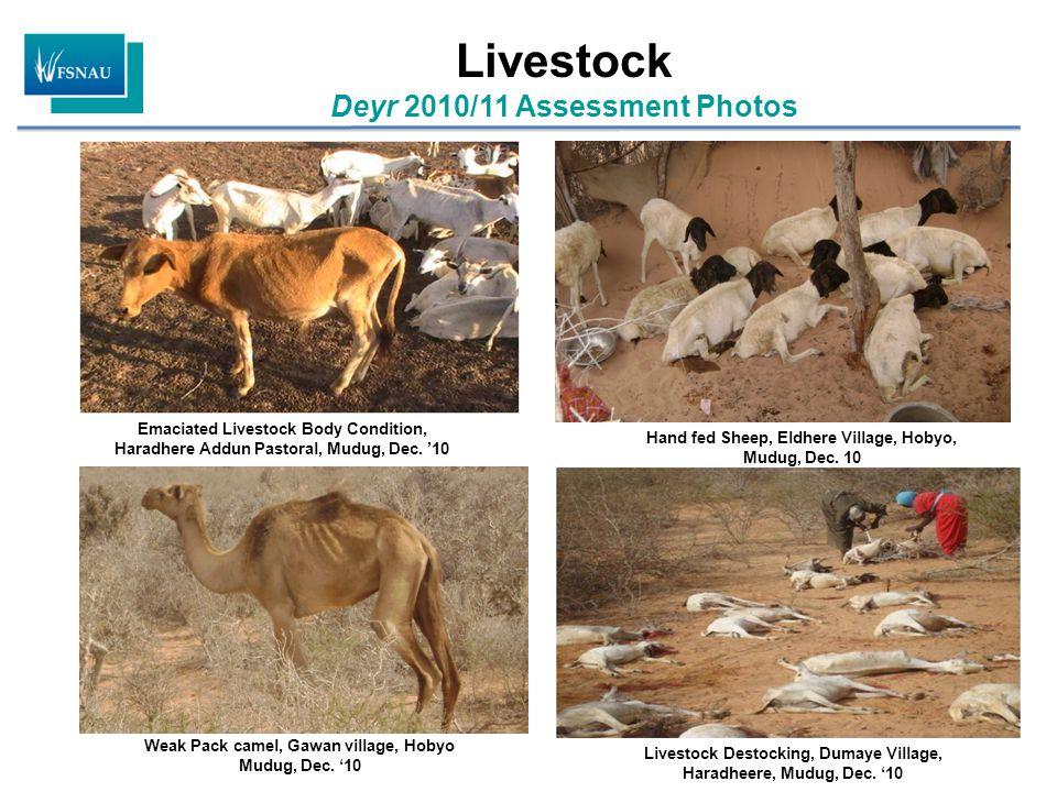 Livestock Deyr 2010/11 Assessment Photos Livestock Destocking, Dumaye Village, Haradheere, Mudug, Dec. '10 Hand fed Sheep, Eldhere Village, Hobyo, Mud