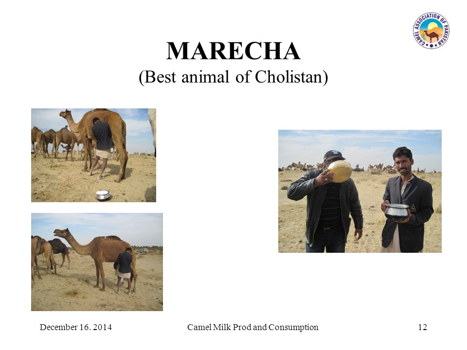 MARECHA (Best animal of Cholistan) 12Camel Milk Prod and ConsumptionDecember 16. 2014