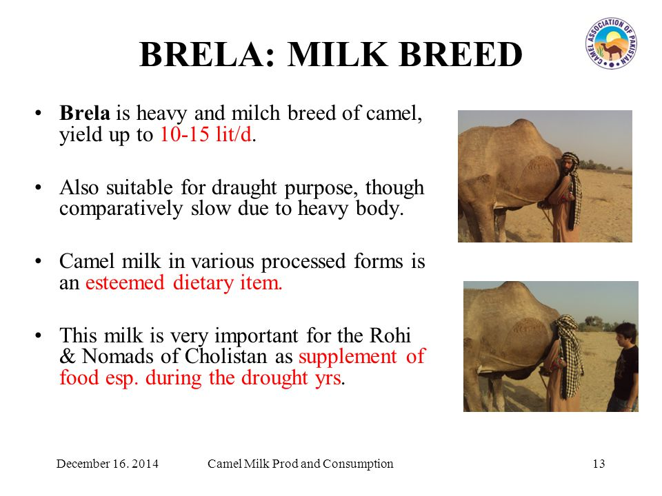 BRELA: MILK BREED Brela is heavy and milch breed of camel, yield up to 10-15 lit/d.