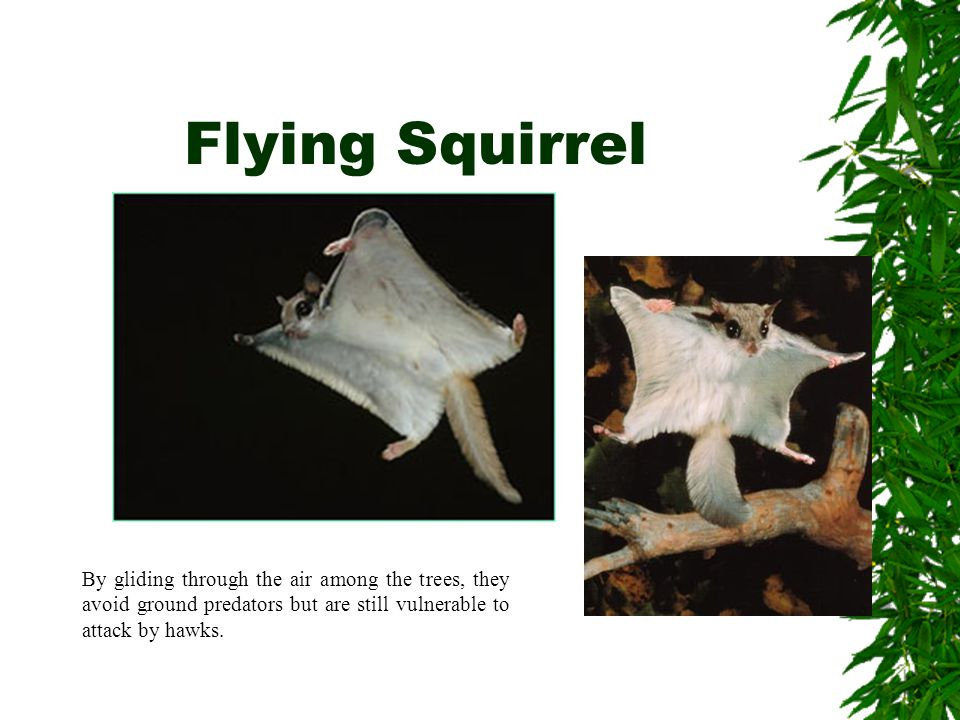Flying Squirrel By gliding through the air among the trees, they avoid ground predators but are still vulnerable to attack by hawks.