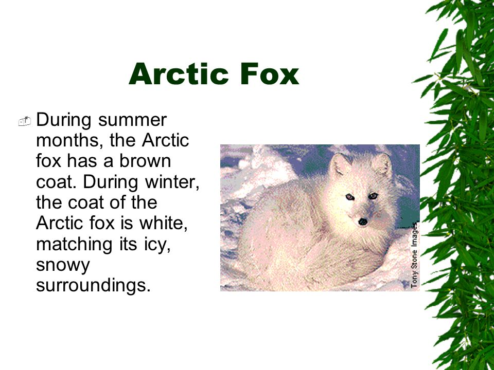 Arctic Fox  During summer months, the Arctic fox has a brown coat. During winter, the coat of the Arctic fox is white, matching its icy, snowy surrou
