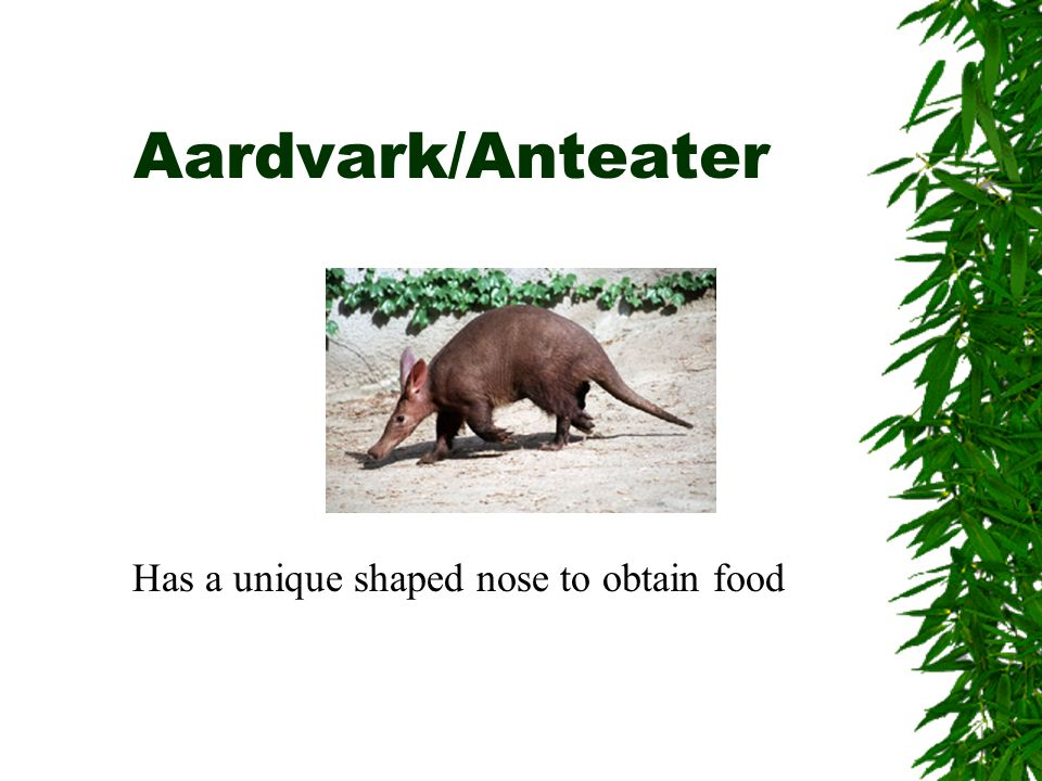 Aardvark/Anteater Has a unique shaped nose to obtain food