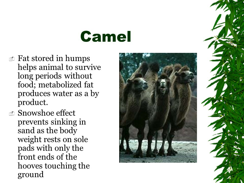 Camel  Fat stored in humps helps animal to survive long periods without food; metabolized fat produces water as a by product.