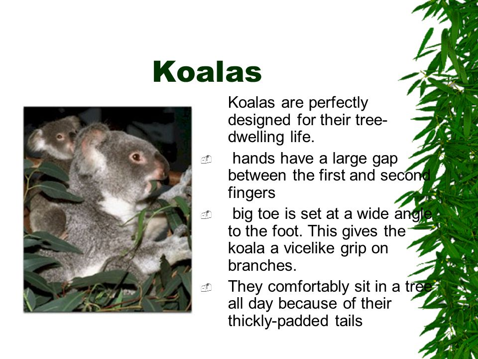 Koalas Koalas are perfectly designed for their tree- dwelling life.  hands have a large gap between the first and second fingers  big toe is set at