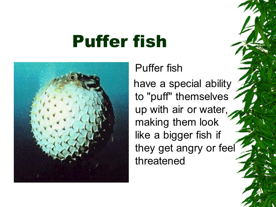 Puffer fish have a special ability to puff themselves up with air or water, making them look like a bigger fish if they get angry or feel threatened