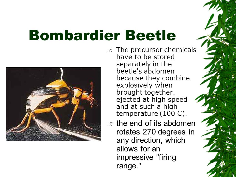 Bombardier Beetle  The precursor chemicals have to be stored separately in the beetle's abdomen because they combine explosively when brought togethe